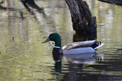 A mallard duck. In the pond Stock Photography