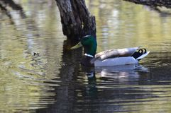 A mallard duck. In the pond Stock Images