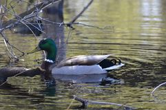 A mallard duck. In the pond Stock Image