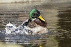 Mallard duck. Splashing in the water Royalty Free Stock Photography