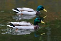 Mallard duck. Swimming in a canal in England Royalty Free Stock Photo