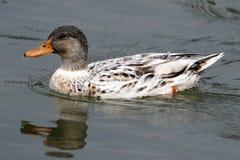 A mallard duck. Swimming in the mountain lake Royalty Free Stock Photo