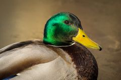Mallard duck. Mallard male duck colorful head close up  detail wallpaper background Royalty Free Stock Images