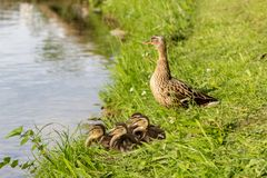 Mallard duck mother with ducklings. At the river side Stock Photo