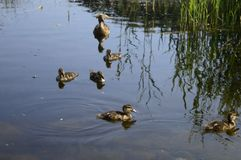 Mallard duck with duckling. Mallard duck mother with young ducklings on lake Stock Photos
