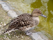 Mallard duck in nature. Background Royalty Free Stock Images
