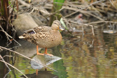 Mallard Duck on Old Tyre in the River. A cute female mallard duck standing on an old tyre in the river Stock Photo