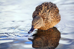 Mallard duck ona river drinking water Royalty Free Stock Image