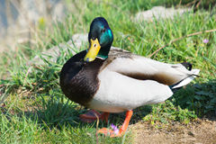 Mallard Duck. One Male Mallard Duck Standing at the Sun in the Park Stock Image