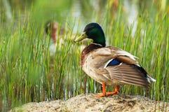 Mallard duck outdoors. Portrait of mallard duck outdoors Royalty Free Stock Photos