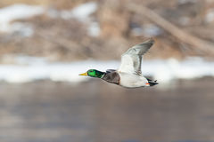 Mallard duck over river. In flight Royalty Free Stock Photo