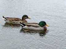 Mallard Duck Pair Immagini Stock Libere da Diritti