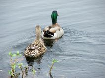 Mallard Duck Pair. A Pair of Mallad ducks swims away at Central Park Nature Preserve, Largo FL Stock Images