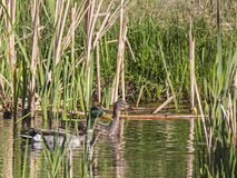 Mallard Duck pair Anas platyrhynchos. The two Mallard ducks hide behind the cattails in the wetlands swamp Stock Image