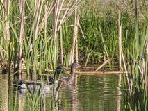 Mallard Duck pair Anas platyrhynchos. The two Mallard ducks hide behind the cattails in the wetlands swamp Stock Image