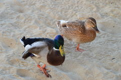 Mallard  Duck pair at the beach. Mr and Mrs  Mallard  duck walking on the sand of a beach Stock Photos