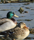 Mallard Duck Pair. A pair of mallard ducks at rest Stock Images