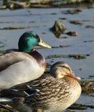 Mallard Duck Pair Stock Images