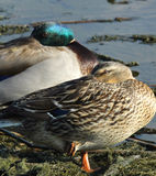 Mallard Duck Pair. A pair of mallard ducks at rest while keeping a watchful eye Royalty Free Stock Photography