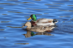 Mallard Duck Pair. A pair of mallard ducks swimming on a lake Royalty Free Stock Photo