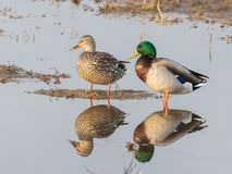 Mallard Duck Pair - Female is missing an eye. The mallard is a dabbling duck that breeds throughout the temperate and subtropical Americas, Eurasia, and North Stock Photos