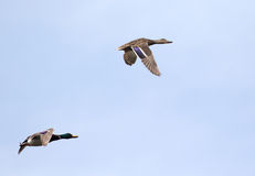 Mallard duck pair in flight Stock Image