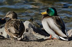 Mallard duck pair. Male and female pair of mallard ducks sunbathing on side of lake shore on windy day Stock Image