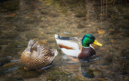 Mallard Duck Pair in a pond. A pair of Mallard Ducks wadding in a shallow pond Royalty Free Stock Photo