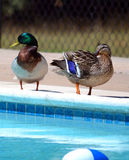 Mallard duck pair at a public swimming pool. A pair of Mallard ducks beside a suburban swimming pool Royalty Free Stock Image