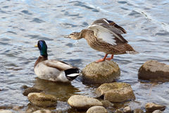 Mallard duck pair on rocky edge of lake shore. With hen spreading and stretching out her wings Royalty Free Stock Photography