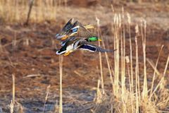 Mallard Duck Pair Taking Flight. Mallards photographed taking flight in Augustine Wildlife Area in central Delaware Stock Photography