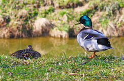Mallard duck pair. Wild drake and duck on the riverside Royalty Free Stock Photography