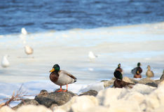 Mallard Duck. A mallard perched on the rocky shore of the Mississippi River Stock Photography