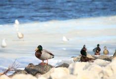 Mallard Duck stock photography