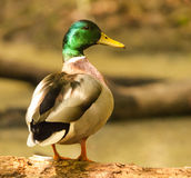 Mallard Duck. Photo of a mallard duck resting on a wood log Stock Photos