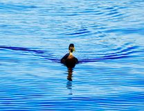 A mallard duck. A picture of a mallard duck swimming in the lake Royalty Free Stock Photography