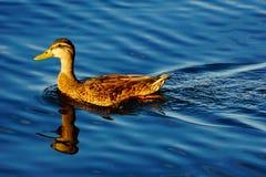 A mallard duck Stock Photo