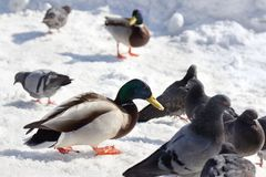Mallard duck with pigeons are in winter time. Mallard duck with pigeons eat a bread crumbs near frozen river in winter time Royalty Free Stock Photos