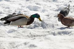 Mallard duck with pigeons are in winter time. Mallard duck with pigeons eat a bread crumbs near frozen river in winter time Stock Photo