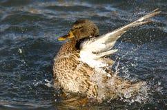 Mallard Duck Playfully Splashing sur l'eau photo libre de droits