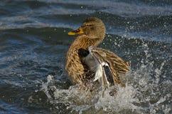 Mallard Duck Playfully Splashing sur l'eau image libre de droits