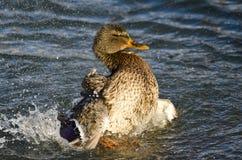 Mallard Duck Playfully Splashing sur l'eau images libres de droits