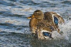 Mallard Duck Playfully Splashing on the Water. Female Mallard Duck Playfully Splashing on the Water Stock Photography