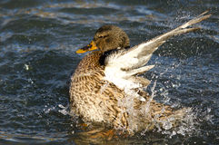 Mallard Duck Playfully Splashing on the Water. Female Mallard Duck Playfully Splashing on the Water Royalty Free Stock Photo