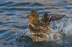 Mallard Duck Playfully Splashing on the Water Royalty Free Stock Images