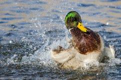 Mallard Duck Playing et ?claboussement dans l'eau fra?che et r?g?n?ratrice photos stock