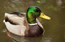 Mallard Duck in Pond Royalty Free Stock Photography