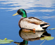 Mallard Duck On Pond. Beautiful Mallard duck resting on log in pond.  Clouds reflecting on water Stock Photos
