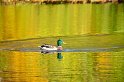 The mallard duck on the pond. The water in the reflection of colorful autumn trees Stock Photos