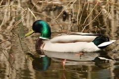 Mallard Duck in Pond. Mallard duck swimming in natural pond Stock Image